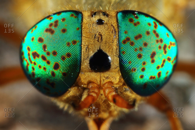 Silvius alpinus, a species of horsefly, with identical emerald green patches on the compound eyes