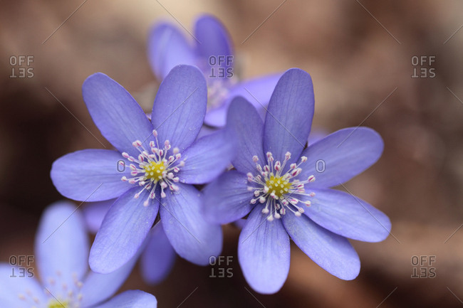 Liverleaf, Hepatica nobilis, in early spring