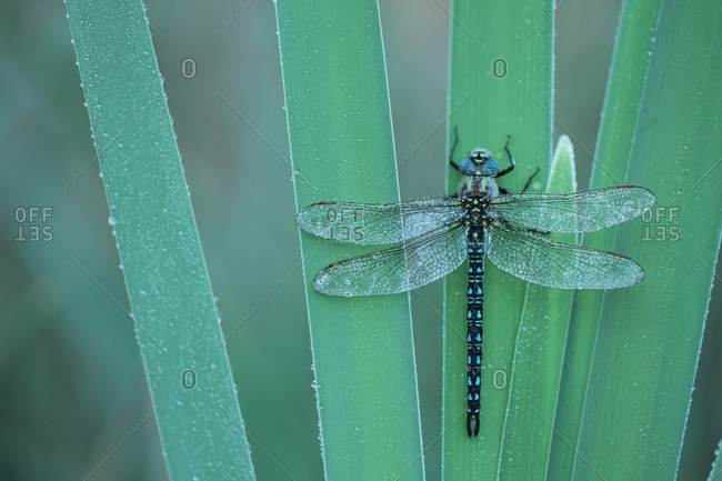 Hairy dragonfly, Brachytron pratense, rests on broadleaf cattail, Typha latifolia, leaf
