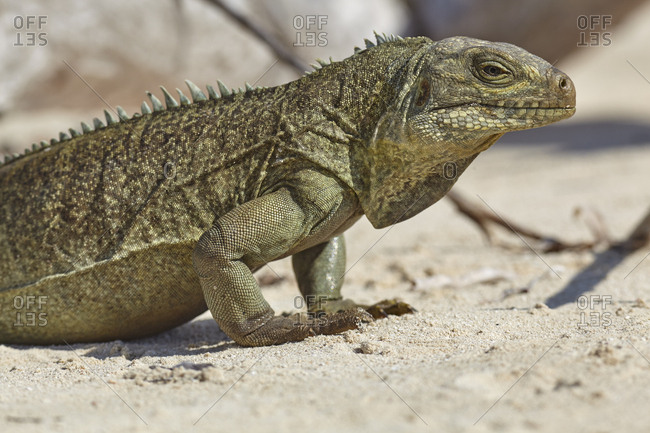 Turks and Caicos Rock Iguana, Cyclura carinata, a highly endangered protected species