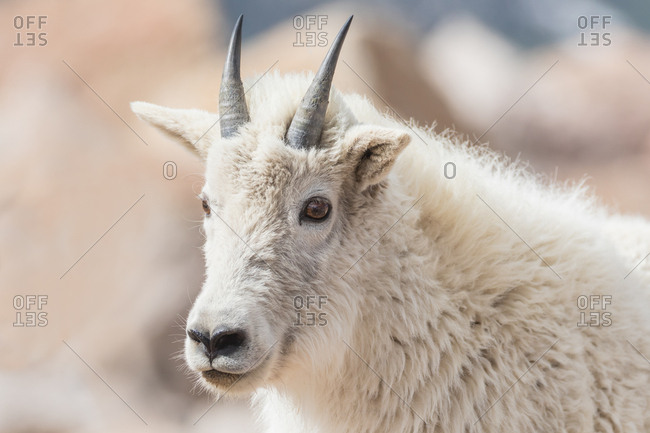 Portrait of a yearling mountain goat