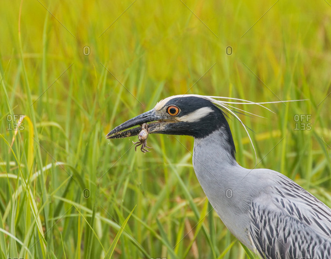 A yellow crowned night heron with a fiddler crab in its beak