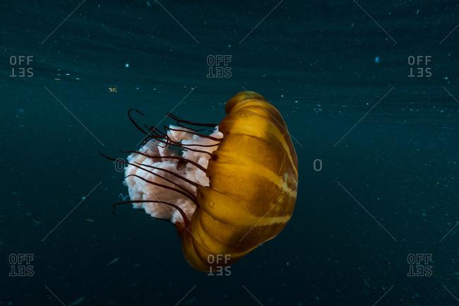 A lion\'s mane jellyfish underwater