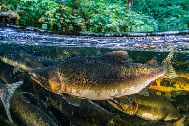 School of Chinook salmon swim upstream to compete for spawning ground