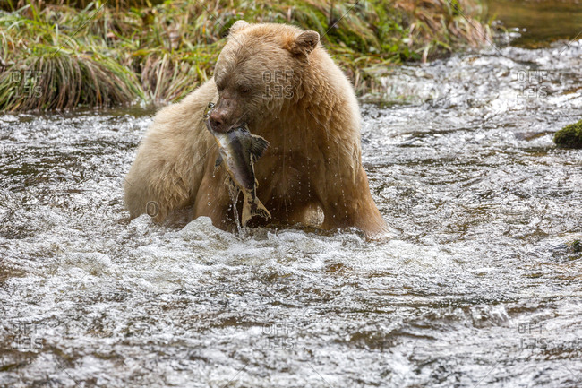 Kermode bear catches salmon from river