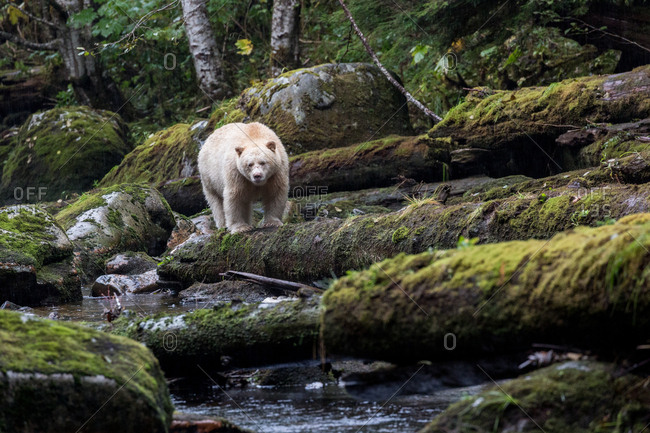 Kermode bear perched on mossy log