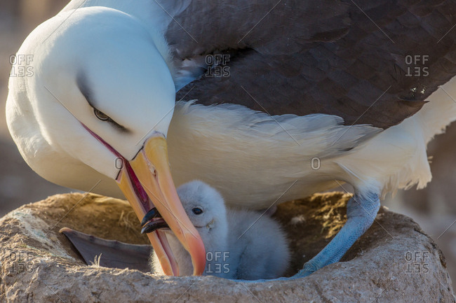 An albatross feeds a fledgeling in a nest