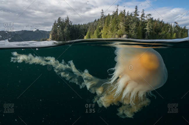 An egg-yolk jellyfish near the surface of the water