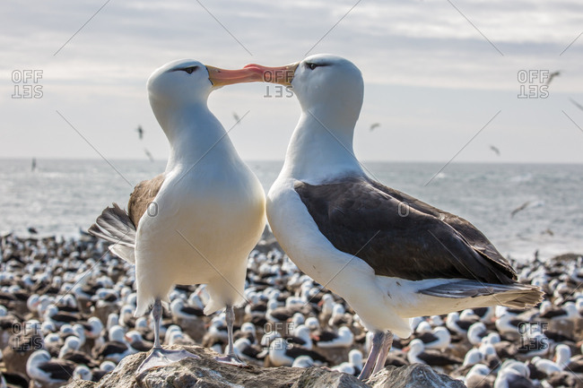 Two albatross make contact with each other via their beaks