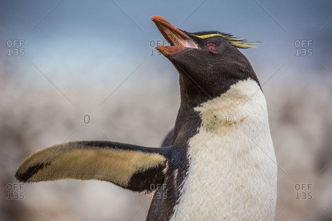 A southern rockhopper penguin with its beak open