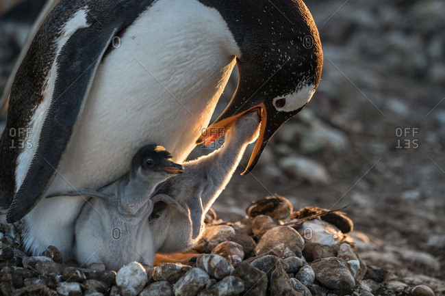A nestling feeds through the mouth of an adult penguin