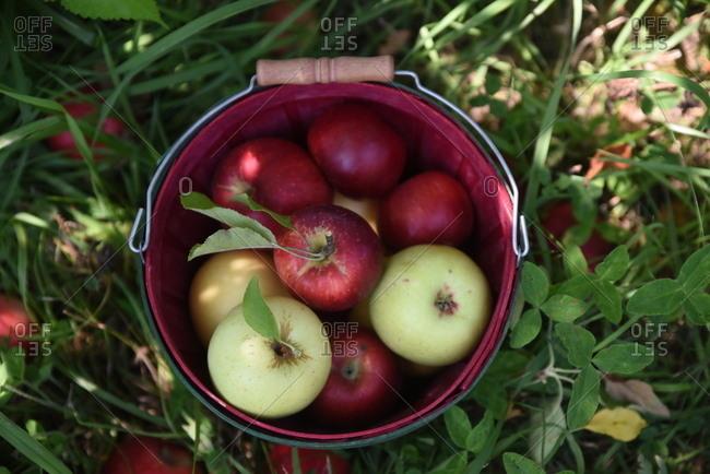 Basket full of freshly picked apples