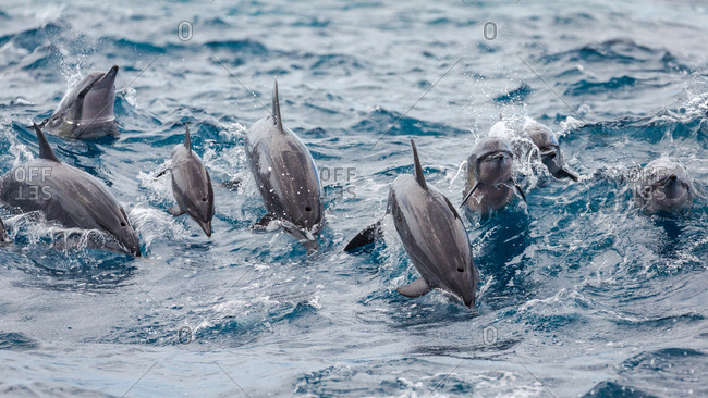Dolphins splashing above the surface of the water in the ocean