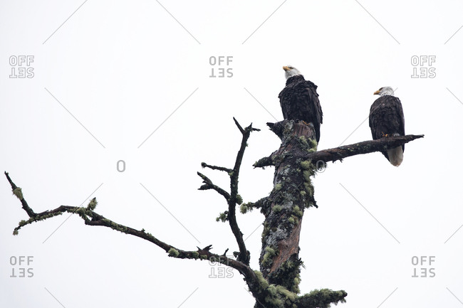 Eagles on a dead tree