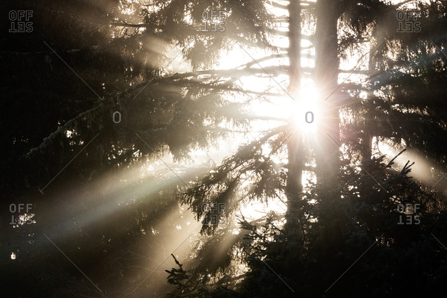 Sunlight through pine trees