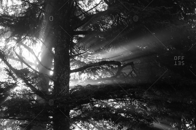 Sunlight through trees in black and white