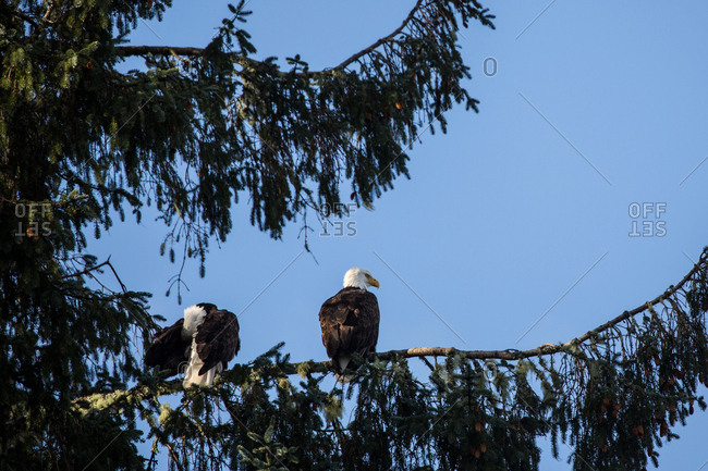 Eagles perched on tree branches