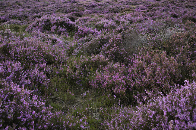 Moorland with purple blooming heather in Veluwe, Netherlands