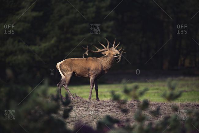 Rear view of red deer stag (cervus elaphus) in rutting season