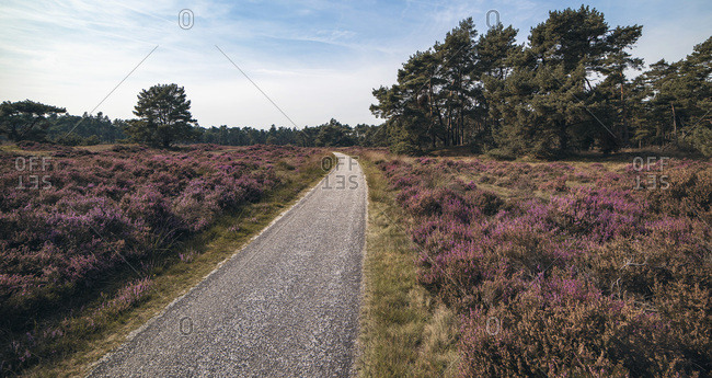 Single lane road in blooming moorland with blue cloudy sky
