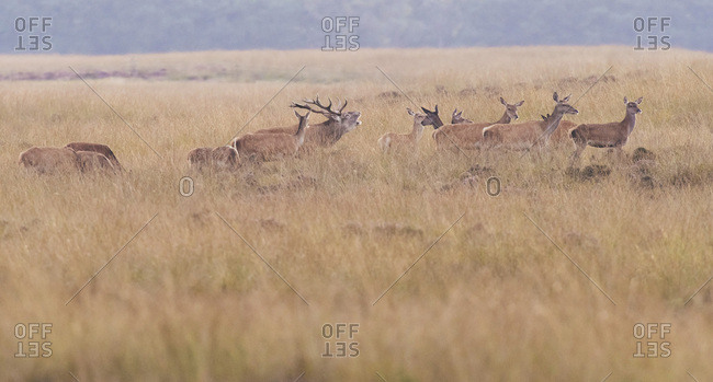 Herd of red deer hinds with one bellowing red deer stag in field