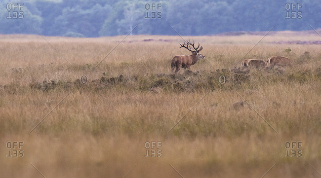 Red deer stag with hinds in field in rutting season