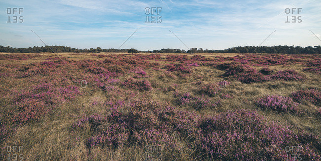 Panorama shot of moorland with blooming heather under blue cloudy sky