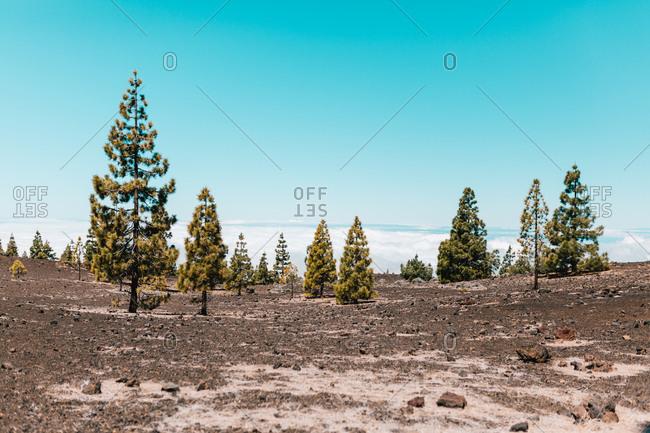 Coniferous trees on rocky desert in winter under blue clear sky.