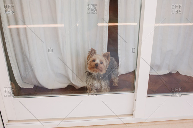 Yorkshire terrier looking out patio door