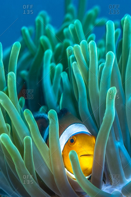 Philippines, Palawan, Sulu Sea, Tubbataha Reefs Natural Park, Clownfish or anemonefish are fishes from the subfamily Amphiprioninae in the family Pomacentridae, In the wild, they all form symbiotic mutualisms with sea anemones