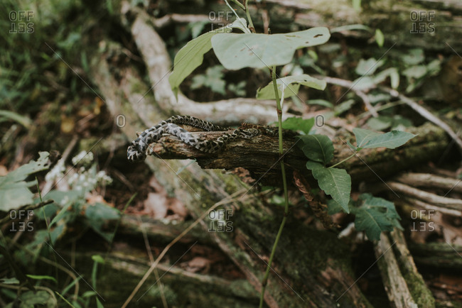 Small snake slithering on fallen branch in the forest