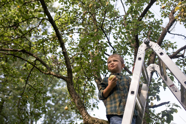 Low angle view of boy holding pear while standing on ladder at farm