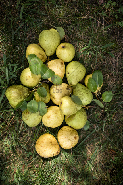 Overhead view of pears on grassy field
