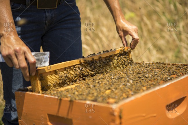 Midsection of beekeeper removing honeycomb frame at field