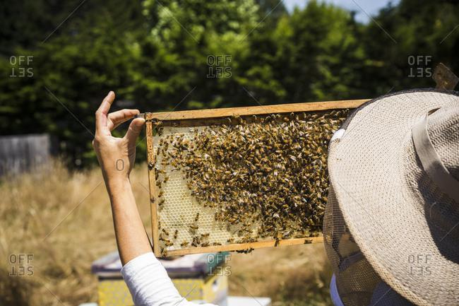 Female beekeeper examining honeycomb frame