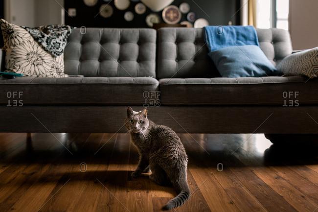 Cat sitting on hardwood floor in front of gray sofa