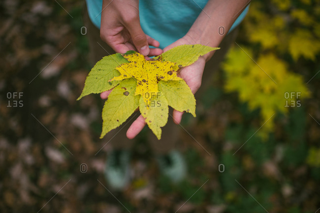 Person holding yellow fall leaves