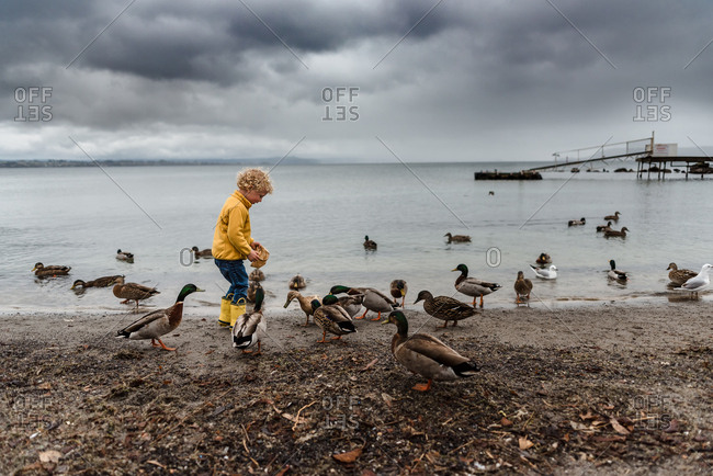 Toddler feeding a flock of ducks