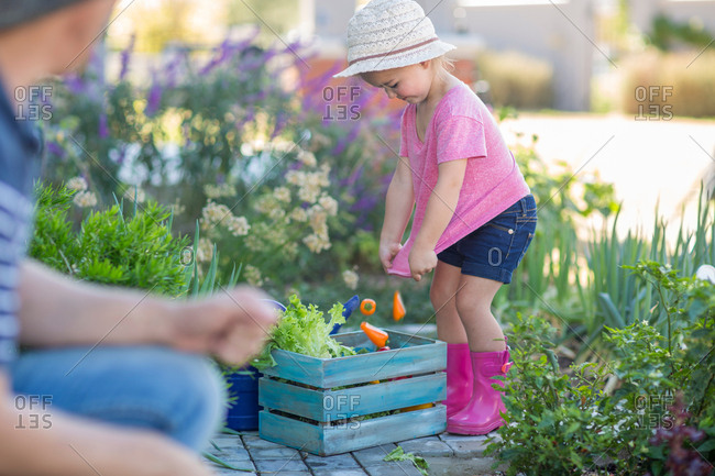 Father and daughter in garden, daughter putting picked vegetables into wooden crate