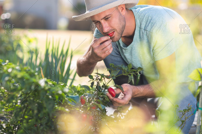 Young man in garden, tasting chilli from chilli plant