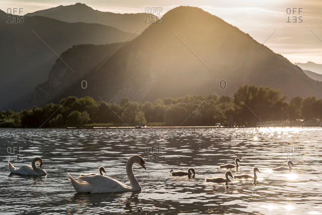 Family of swans swimming on Lake Maggiore at sunset, Piemonte, Italy
