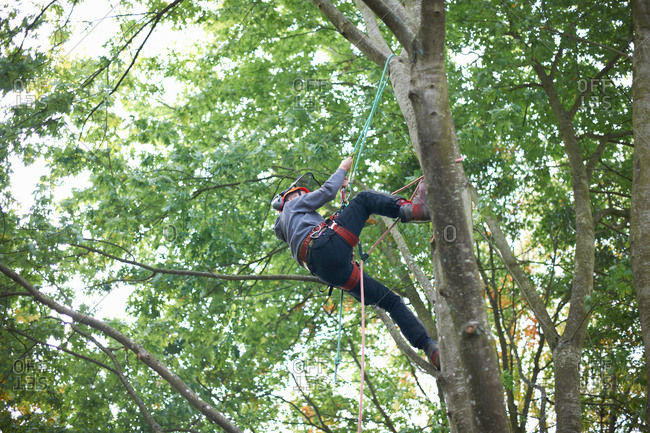 Young male trainee tree surgeon climbing tree trunk