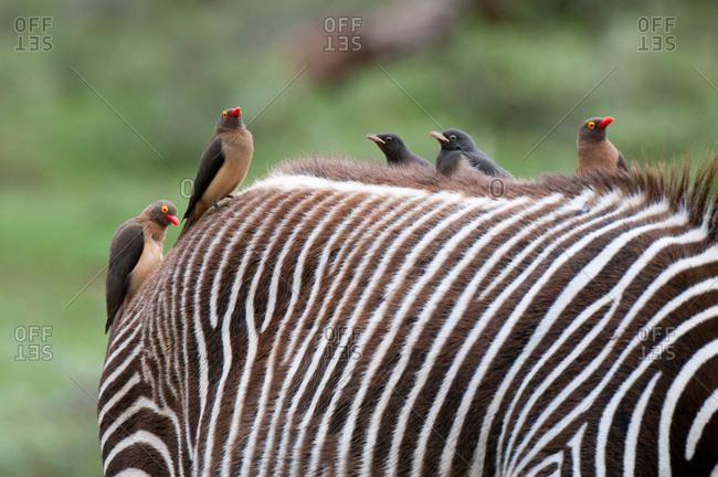 Red-billed Oxpecker (Buphagus erytrorhynchus) on Grevy's Zebra back (Equus grevyi), Samburu National Park, Kenya