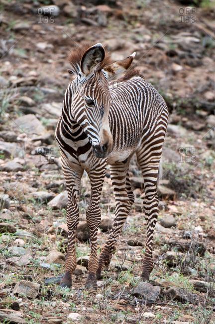 Grevy's Zebra (Equus grevyi), Samburu National Park, Kenya