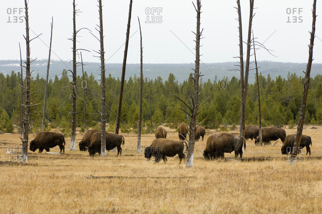 Bison herd, Yellowstone National Park, Wyoming, USA