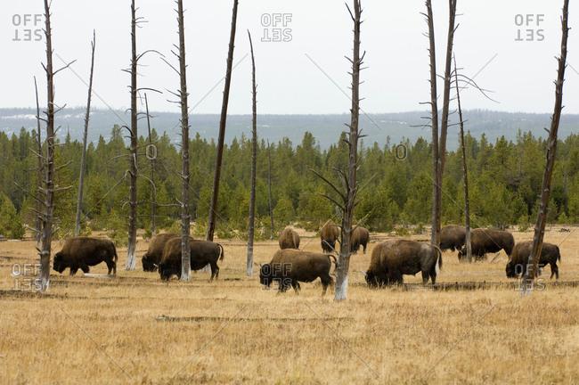 Bison herd, Yellowstone National Park, Wyoming, USA