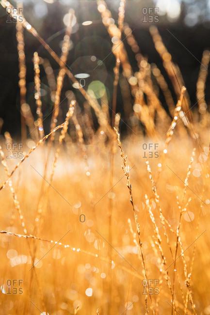Shallow focus of long golden grasses