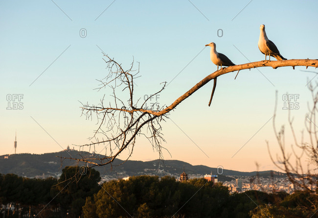 Two gulls perched on branch with distant rooftops, Barcelona, Spain