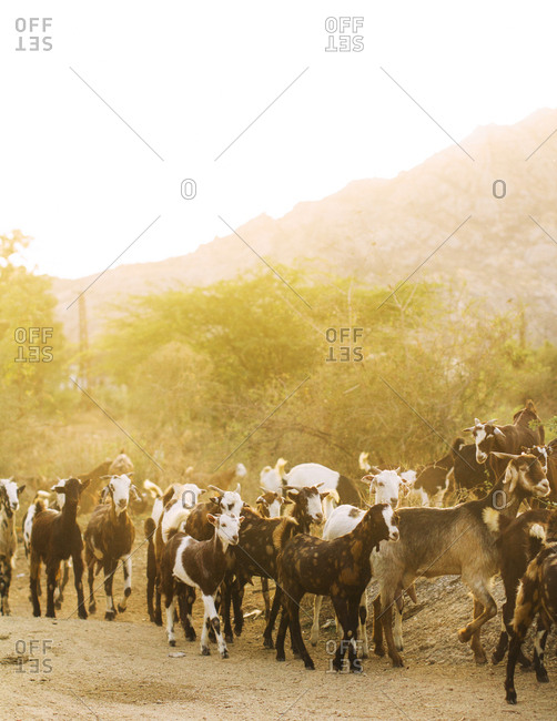 Goats being herded back to the village at sundown in Jawai, Rajasthan, India