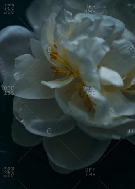 White peony in dark light